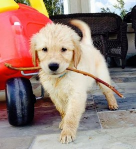 golden retriever puppies for sale in texas